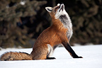 Red fox in the snow looking over him Canada� (Red fox)