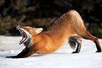 Red Fox yawning and stretching in the snow Canada (Red fox)