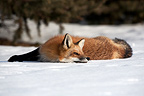 Red Fox lying in the snow Canada (Red fox)