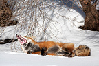Red fox lying in the snow and yawning Canada (Red fox)