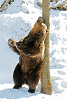 Bear scratching his back against the trunk of a tree Switzerland (Brown bear)