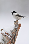 Willow Tit perched on a dead wood Oulanka NP Finland (Willow tit)