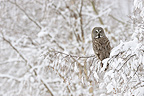 Great Grey Owl on a tree in the Oulanka NP Finland (Great Grey Owl)
