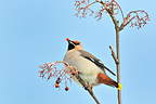 Bohemian Waxwing eating berries in the Oulanka NP Finland (Bohemian Waxwing)