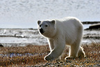 Polar bear, one year old, on a beach in the Arctic� (Polar bear)