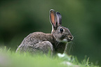 European Rabbit in autumn UK (European rabbit)