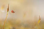 Little red spider moving in mosses France� (Spider)