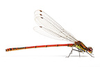 Damselfly in studio
