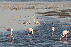 Flamingos and waders in the Camargue France (Greater Flamingo)