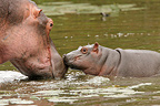Hippopotamus and calf in a river, Kruger NP, South Africa