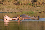 Hippo resting in water Kruger South Africa (Hippopotamus)