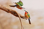 White-fronted bee-eaters on a branch Kruger South Africa� (White-fronted Bee-eater)