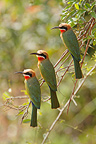White-fronted bee-eaters on a branch Kruger South Africa  (White-fronted Bee-eater)