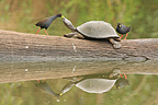 Black Crakes deworming a Helmeted Turtle Kruger (Helmeted turtle; Black Crake)