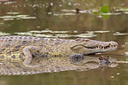 Nile Crocodile warming on the bank of South Africa  (Nile Crocodile )