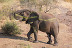 Elephant out of the water covered with plant debris Kruger (African elephant)