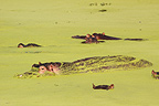 Hippos covered with plant debris in South Africa  (Hippopotamus)