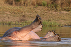 Hippopotamus turning in water Kruger South Africa (Hippopotamus)