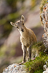 Young Ibex year in the Swiss Alps (Ibex)