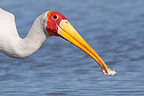 Yellow-billed Stork having caught a fish Kruger South Africa (Yellow-billed Stork)