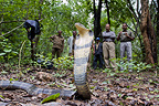 Break of a young King Cobra in the forest in India�