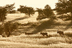 Gemsbok in the tall grass Kgalagadi South Africa� (Gemsbok)
