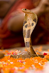 Religious celebration in a temple with an Asian Cobra India