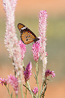 Monarch Butterfly on a flower Kgalagadi South Africa�