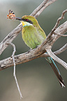 Bee-eater with captured monarch Kgalagadi South Africa (Swallow-tailed bee-eater)