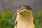 Portrait of an adult King Cobra eating a Snake India
