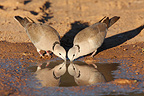 Ring-necked doves drinking at a water Kgalagadi�South Africa (Ring-necked Dove)
