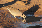 Ring-necked dove drinking at a water Kgalagadi�South Africa (Ring-necked Dove)
