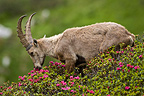 Young Ibex eating Rhododendrons (Ibex)