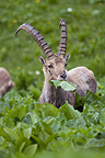Ibex eating brush Switzerland (Ibex)