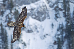 Bearded Vulture in flight in the Swiss Alps, Switzerland