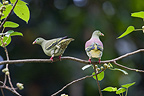 Couple of Thick-billed Green-pigeon Tarutao NP Thailand (Thick-billed Green-pigeon)