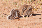 South African Ground Squirrels fighting over food Kgalagadi (South african ground squirrel)