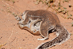 South African Ground Squirrel grooming a young Kgalagadi (South african ground squirrel)