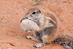 South African Ground Squirrel eating acacia fruit Kgalagadi (South african ground squirrel)