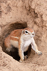 South African Ground Squirrel out of its burrow Kgalagadi (South african ground squirrel)
