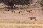 Lioness passing of Gemsboks Kgalagadi South Africa (African lion)