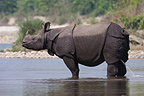 Greater One-horned Rhino urinating in the water Nepal (Indian rhinoceros)