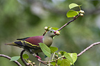 Thick-billed Green-pigeon on a branch Tarutao NP Thailand (Thick-billed Green-pigeon)