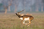 Blackbuck male running in the Bardia NP Nepal (Blackbuck)