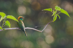 Little Green Bee-eater on a branch Bardia NP Nepal (Little Green Bee-Eater)