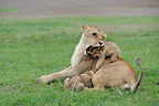 Lioness and Lion Cubs playing in the grass Masai Mara Kenya (African lion)