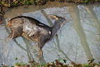European Roe Deer corpse in the water in winter France (Roe deer)