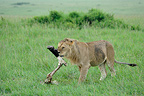 Lion carrying a leg of Buffalo Masai Mara Kenya (African lion)