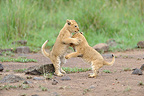 Lion Cubs playing in the Savannah Masai Mara Kenya (African lion)