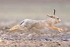 European hare running in a meadow Normandy France (European Hare )